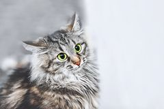 En stående av de ryska Siberian katterna Kattattacker close upp kopiera avstånd arkivfoto