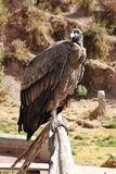 En stående av en Andean Condor Arkivfoto