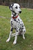 Dalmatian som sitts på gräsståenden Arkivbild