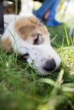 En stående av en fullblods- hund i natur Royaltyfria Foton