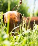 En stående av en fullblods- hund i natur Royaltyfri Foto