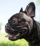 En stående av en fullblods- hund i natur Royaltyfri Bild