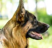 En stående av en fullblods- hund i natur Royaltyfri Fotografi