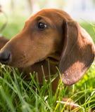 En stående av en fullblods- hund i natur Arkivbilder