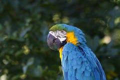 En stående av en härlig papegoja Arkivfoto