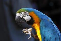 En stående av en härlig papegoja Arkivbilder