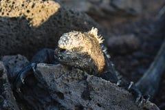 En stående av en Marine Iguana Fotografering för Bildbyråer