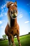 En stående av en Shetland ponny med blåa himlar och moln Royaltyfria Foton