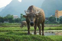 En stående av en vattenbuffel på en risfält i Phong Nha, Vietnam Med andra bufflar i bakgrunden Fotografering för Bildbyråer