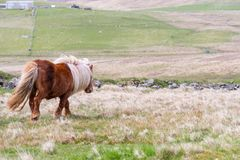En stående av en ensam Shetland ponny på en skotsk hed på de Shetland öarna royaltyfria foton