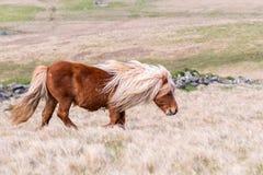 En stående av en ensam Shetland ponny på en skotsk hed på de Shetland öarna fotografering för bildbyråer