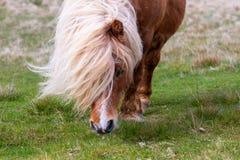 En stående av en ensam Shetland ponny på en skotsk hed på de Shetland öarna royaltyfri fotografi