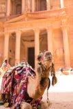 En stående av en kamel i Petra fotografering för bildbyråer