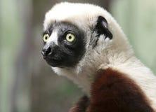 En stående av en Sifaka primat, en stor maki Royaltyfria Bilder