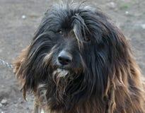 En stående av en skäggig colliehund som ser in i kameran royaltyfria foton