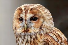 En stående av en Tawny Owl arkivbild