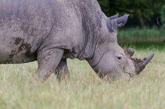 En stående av en vit noshörning som ändå går högväxt gräs arkivbilder