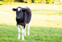 En stående stillhet för ko i ett fält royaltyfri bild
