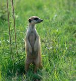 En stående vakt för suricate i det gröna gräset av Afrika royaltyfria bilder