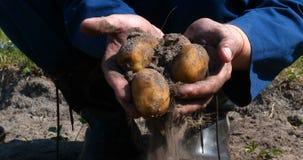 En ståendegrabb en bonde i en sugrörhatt, i ämbetsdräktskjorta gräver upp en potatis stock video