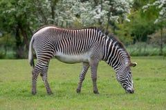 En ståendesikt av en sebra som betar på gräs royaltyfri foto