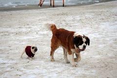 En St Bernard hund och en fransk bulldogg royaltyfri fotografi