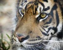 En st?ende av en Bengal tiger i skogen fotografering för bildbyråer