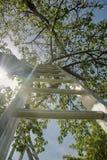 En stege i ett körsbärsrött träd royaltyfria bilder