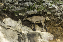 En stenbock på en klippa Arkivfoton