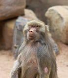 En stående av en babian med en intensiv stirrande Royaltyfri Fotografi