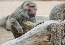 En stående av en babian med en intensiv stirrande Royaltyfria Foton
