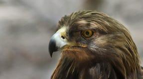 En stående av en guld- Eagle i profil Royaltyfri Foto