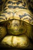 En Stigmochelys för vuxen människaleopardsköldpadda pardalis stänger sig upp arkivfoton