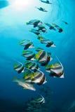 En stim av långa fenabannerfish med en sunburst över Royaltyfri Fotografi