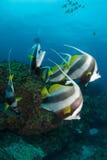 En stim av longfinbannerfish Fotografering för Bildbyråer