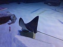 En stingrockafisk i ett akvarium Royaltyfri Fotografi