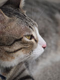 En stirrig strimmig kattkatt Royaltyfria Foton