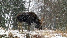 En stor älg i en snöstorm arkivfilmer
