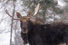 En stor älg med horn på kronhjort i en stor älg för snösnöstorm med horn på kronhjort i en snösnöstorm Royaltyfria Foton