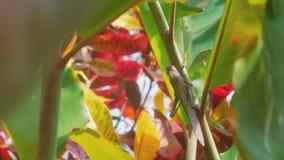 En stor bönsyrsa blir på en växtstam i mjuk vind arkivfilmer