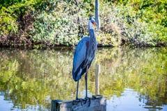 En stor blå häger i Orlando, Florida royaltyfria bilder