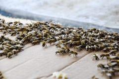 En stor blodstockning av bin på ett ark av papp Svärma av bina biet detailed honung isolerade makroen staplade mycket white Royaltyfri Foto