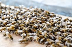 En stor blodstockning av bin p? ett ark av papp Sv?rma av bina fotografering för bildbyråer