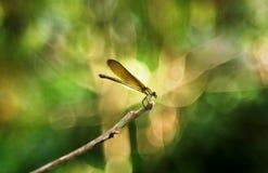 En stor brun damselfly på en stam royaltyfri bild