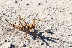 En stor brun gräshoppa som ställningar på jordningen i ett skyddande poserar med dess, tafsar lyftt, på Golan Heights i Israel royaltyfria foton