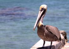 En stor brun pelikan Fotografering för Bildbyråer