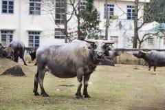En stor buffel arkivbild