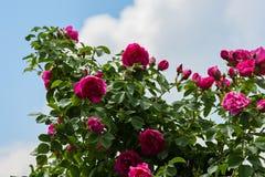 En stor buske av röda rosor arkivfoto