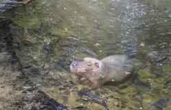 En stor capybara i ett damm på zoo royaltyfria bilder