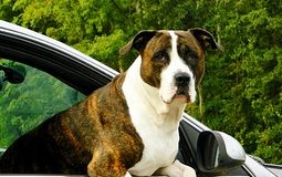 En stor dog& x27; s dig som ser mig nära övre för framsida Royaltyfri Foto